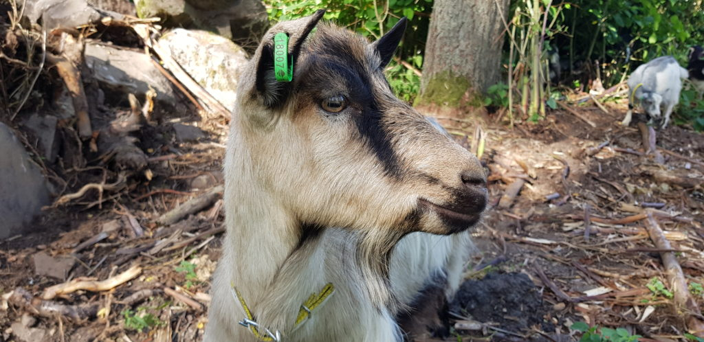 Geten har en uppmärksam blick och lyssnar med utåtriktade öron. Svensk Lantrasget, Vita Geten gårdsmejeri.