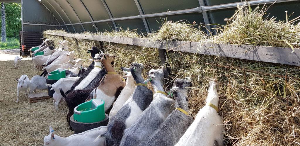 Getterna får sitt grovfoder i en hö-automat