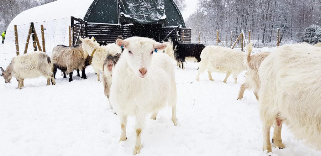 Svensk lantrasget i snölandskap, Vita Geten Gårdsmejeri